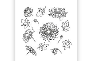 hand drawn elegant chrysanthemum