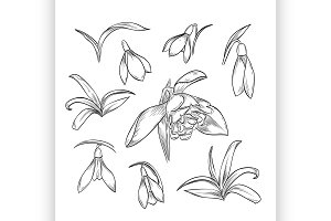 Vector hand drawn elegant snowdrop