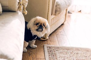 little Pekingese dressed in coat