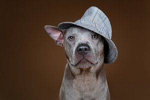 beautiful blue thai ridgeback dog in hat