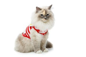 beautiful birma cat in red pullover