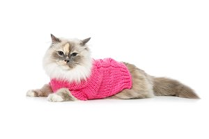 beautiful birma cat in pink pullover