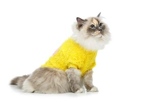 beautiful birma cat in yellow pullover