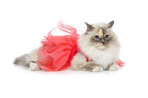 beautiful birma cat in pink dress