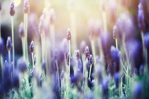 Lavender plant field. Lavandula angustifolia flower. Blooming violet wild flowers background with copy space. Selective focus. Blossom and magic spring concept.