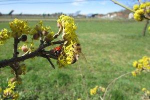 European cornel pollenation