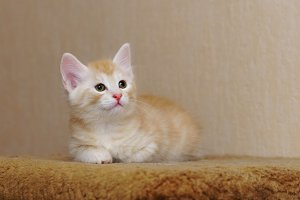 Cute red kitten