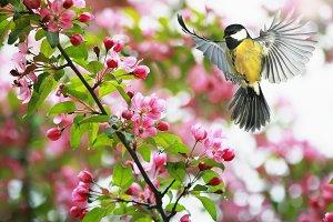 синица летает над цветущими ветками