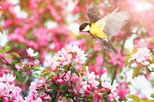синица летает над цветами яблони