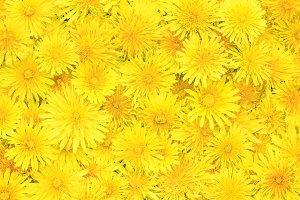 фон из желтых цветов одуванчика