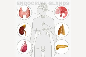 Male Endocrine Glands