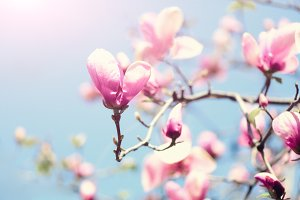 Blooming magnolia tree in the spring sun rays. Selective focus. Copy space. Easter, blossom spring, sunny woman day concept. Pink purple magnolia flowers.