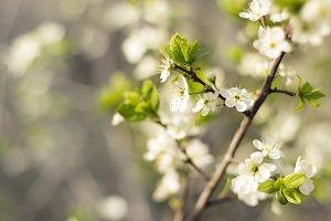 Cherry-tree flower.