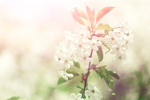 Blossom tree, spring nature background. Sunny day. Easter and blooming concept. Spring flowers with sun rays, copy space.