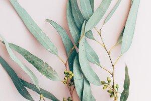 eucalyptus branch closeup pink
