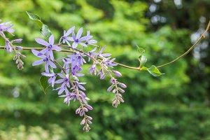 Sandpaper vine or purple wreath