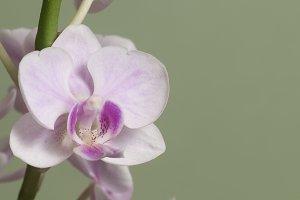 Phalaenopsis orchid flowers