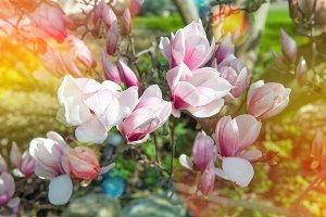 Blossoming magnolia tree