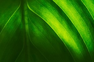 Texture of green leaf. Natural abstract background. Green leaf in backlight. Selective focus