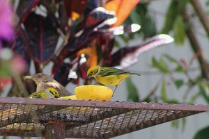 Tropical Birds & Fruit