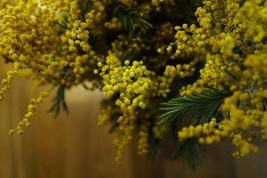 Inflorescence of yellow mimosa