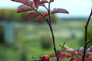 Young rose hips in the fall