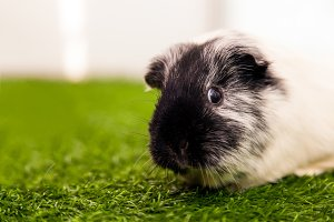 Small black and white guinea pig