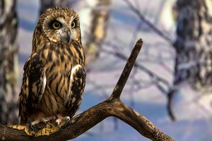 Young beautiful brown owl