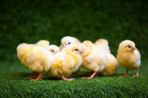 Small yellow chicks