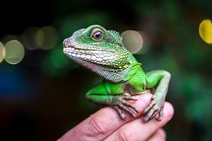 Green beautiful lizard