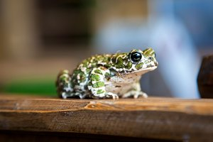 Beautiful green spotted frog
