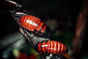 Red-brown Madagascar cockroaches