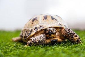 Small cinnamon tortoise