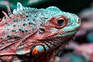 Young beautiful iguana
