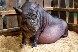 Young thick pink pig