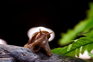 Brown cinnamon snail