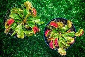 Bright green Dionaea muscipula