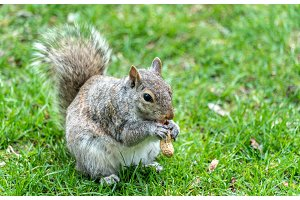 Eastern Gray Squirrel eating a peanut in Montreal - Quebec, Canada