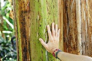 Woman hand over banana tree trunk