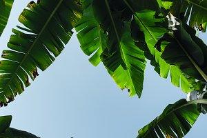 Banana tree leaves low angle view