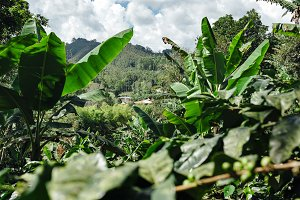 Coffee farm with tropical plants, Salento, Colombia
