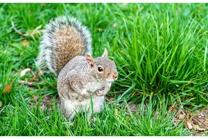 Eastern Gray Squirrel in New York City, USA