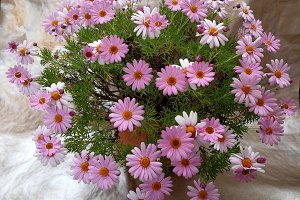Bunch of pink daisies