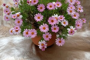 Pink daisies on a pot