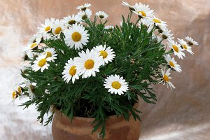 Classical of spring daisies