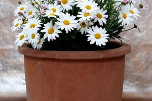 Classical spring daisies