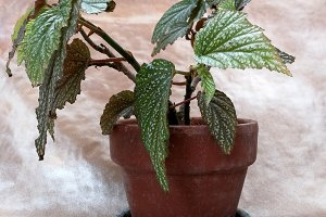 Green plant begonia on pot