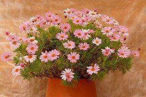 Elegant daisies on a pot