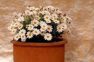 White daisies on a pot