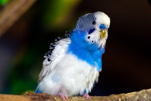 young beautiful blue-white parrot